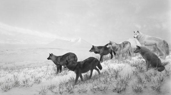Alaskan Wolves, 1994 par Hiroshi Sugimoto
