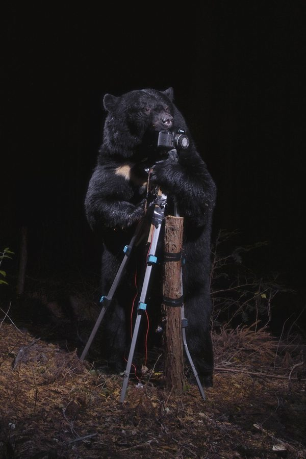 A black bear plays with the Camera, Nagano, 2006 par Manabu Miyazaki