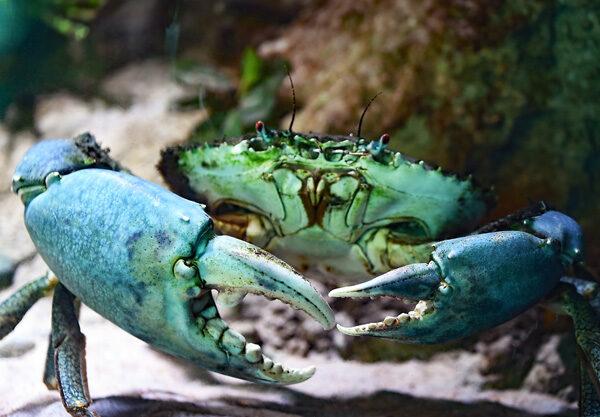DoDo Crab