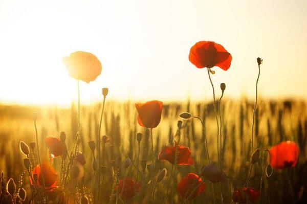 poppies-174276_640